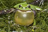 Tree frog singing male France