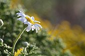 German chamomile flower Giens Peninsula France