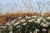 German chamomile flowers Giens Peninsula France