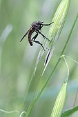 Robber Fly on an ear of grass France