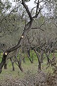 Olive grove cut in Ile de Porquerolles France