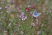 Argus bleu céleste sur fleur de Thym dans la garrigue France