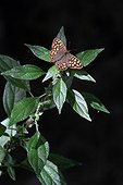 Speckled Wood on Pellitory-of-the-wall in an organic garden