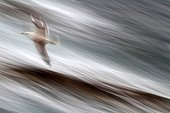 Legged gull flying over the sea France