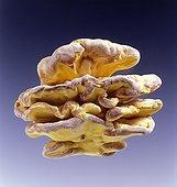 Chiken of the woods mushrooms in studio
