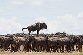 Black wildebeest in the savannah Masai Mara Kenya ; one of them is mounted on a mound