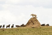 Cheetah on termite mound and Wildebeest in the Masai Mara savanna