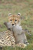 Cheetah choking a young warthog Masai Mara Kenya