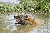 Spotted Hyena bathing in the water at dawn Masai Mara