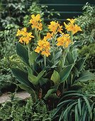 Canna indica Golden Girl