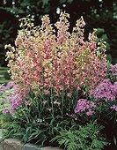 Delphinium ruysii Pink Sensation