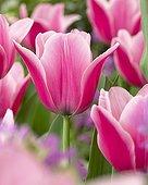 Tulipa Capri Dream