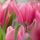 Tulipa Capri Pink