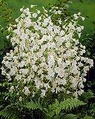 Delphinium belladonna Moerheimmii
