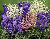 Delphinium belladonna mixed