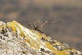 Red-legged partridge on a rock Lleida Spain