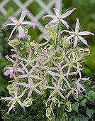 Campanule Fleur ; Campanula Mystery