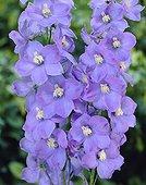 Delphinium belladonna Surprise