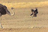 Bateleur jumping in the air against a Ostrich RSA