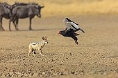 Bateleur flying before a Jackal chabraque South Africa