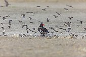 Bateleur among workers with red beak South Africa