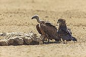 Immature Bateleur and African vulture in South Africa