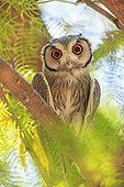 Southern White-faced Owl on a branch South africa