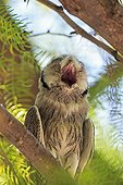 Southern White-faced Owl on a branch yawning South africa