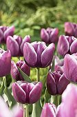Tulipe Violacées ; Tulipa Arabian Mystery