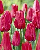Tulipa Capri