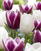 Tulipe ; Tulipa Arabian Mystery;Royal Virgin