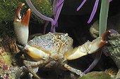 Crabe de pierre et Anémone de mer Mer Méditerranée France