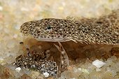 Pennants swimming crab and young Brill Mediterranean  France