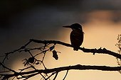 Common Kingfisher on a branch at dawn France