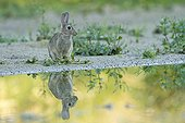 Rabbit and its reflection France