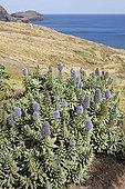 Pride of Madeira flowering on Madeira Island