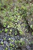 Aeonium on the island of Madeira