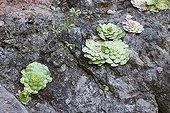 Aeonium on a rock on the island of Madeira