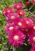 Ice plant in bloom in the Madeira island