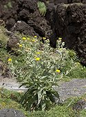 Thistle flower downy Canary Islands