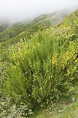 Broom on the plateau Paul da Serra on the island of Madeira ; Altitude: 1500 m