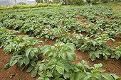 Potato field on the island of Madeira