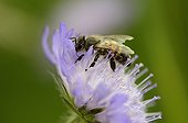 Honey bee pollinating a flower field scabious France