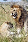 Lion couple in heat in the tall grass Kruger RSA
