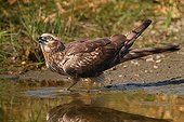 Montagu's Harrier female drinking from a pond France