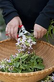 Making of soapwort manure for the garden
