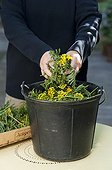 Making of common tansy manure for the garden