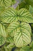 Chlorosis on raspberry foliage in a garden