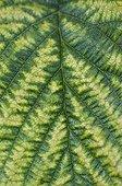 Chlorosis on raspberry leaf in a garden