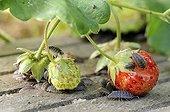 Cloportes dévorant des fraises au jardin potager